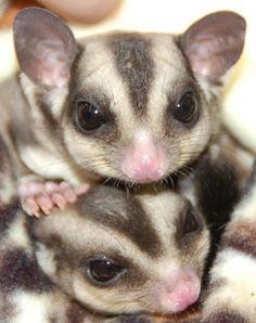 Baby Possums (Australia)