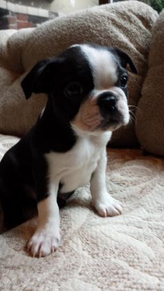 Can we Get some Repin for this Cute Little Boston Terrier siting on the sofa?! https://www.facebook.com/bterrierdogs