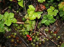 Rubus pedatus 1.jpg
