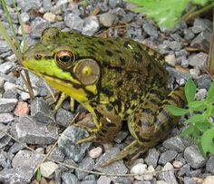 Rana clamitans - Green Frog -- Sighted: New York, etc.