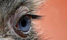 """""""Eye quiz: A close-up view of an eye of an ostrich"""""""