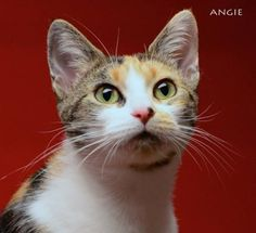 This is the lovely and loving Angie. Available for adoption through Napanee Community Kitten Rescue.
