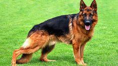25 raças mais perigosas de cachorro - IDEAGRID - Pastor Alemão