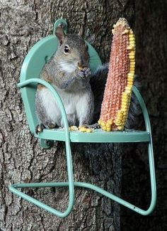 Squirrel Eating Corn