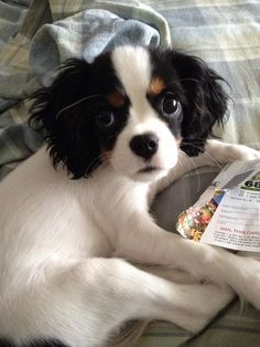 Anonymous said: Hi, I'm feeling kind of sad and anxious, could you post cavalier King Charles spaniel puppies? Puppies And Kitties, Cute Puppies, Cute Dogs, Doggies, Cavalier King Charles Dog, King Charles Spaniel, Baby Animals, Cute Animals, Dog Rules