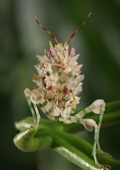 Fabulous mantid! they different varieties are some of the most beautiful creatures.
