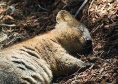 Quokka (Setonix brachyurus) The Quokka is a small macropod about the size of a domestic cat. Like other marsupials in the macropod family (such as the kangaroos and wallabies), the quokka is. Happy Animals, Cute Baby Animals, Animals And Pets, Funny Animals, Wild Animals, Farm Animals, Cute Creatures, Beautiful Creatures, Animals Beautiful