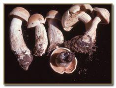 Urban Mushrooms: Clitocybe irina - False Blewit  Order Agaricales, family Tricholomataceae Edible Mushrooms, Stuffed Mushrooms, Fungi, Urban, Stuff Mushrooms, Mushrooms