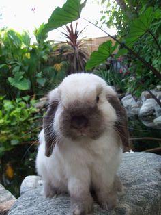 Holland Lops - Roaring Heights Rabbitry