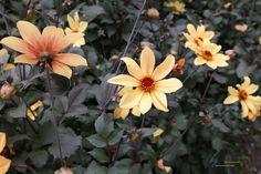 Dahlia 'Bishop of York', donkerbladig, bloeit lang door.Houd van een zonnige plek en trekt vlinders en bijen.