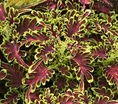 Coleus Under the Sea® Electric Coral - found some! Planted 2013
