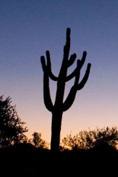 Arizona cactus at sunset.