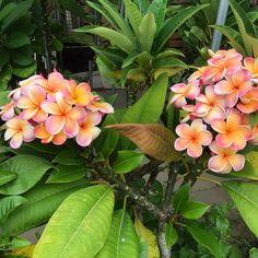 Exotic Flowers, Tropical Flowers, Pretty Flowers, Tropical Gardens, Hawaiin Flowers, Plumeria Flowers, Hibiscus, Tahiti, Garden Plants