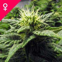 Buy Skunk Feminized cannabis seeds here! The feminized version of this oldschool classic provides great yield, effect and flavour, and is easy to grow. Weed Plants, Marijuana Plants, Buy Weed Seeds, Indoor Outdoor, Weed Bong, Weed Recipes, Seed Shop, Seeds Online, Medical Marijuana