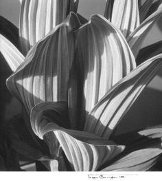 False Hellebore, 1926.  photo by Imogen Cunningham.  This signed print of the False Hellebore is an early printing of this extraordinary image.   The rich tones of this silver print, with the high silver content of vintage photographic paper, gives the image a richness and depth that is hard to achieve today.