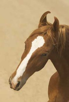 Marwari horse (indigenous horse of India) All The Pretty Horses, Beautiful Horses, Mounting A Horse, Marwari Horses, Indian Horses, Akhal Teke, Majestic Horse, Horse Pictures, Horses