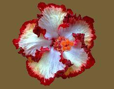 Hibiscus 'Hoosiers'