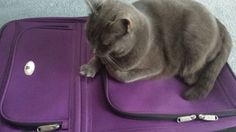 My cat wants to fly with me. ...