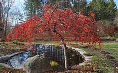 Image result for photo of Red Jade Crabapple