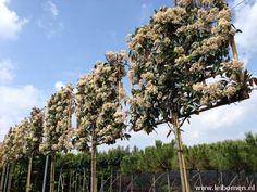 Photinia red robin leiboom. Dit is een mooie groenblijvende leiboom. Het jonge blad is rood van kleur. Deze leiboom krijgt ook een fijne witte bloesem. Kijk ook eens op www.leibomen.nl