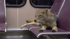 the-dog-fandom:  bruce-dick-in-son:  fourgasm:  sytorofoam-boots-blog:  I thought the coyote stretching its paws was cute so I made a GIF of it.  toes  Why is there a coyote on a bus.  because they can't drive   obvs. except I think that's a subway