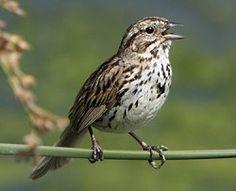Song Sparrow: Song Sparrow