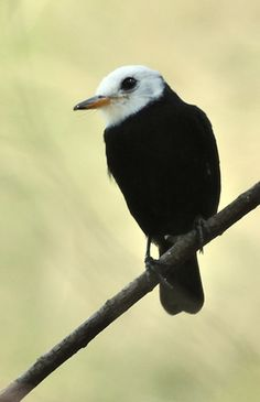 Male White-headed Marsh Tyrant | Flickr - Photo Sharing!