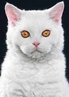 257af363cb Selkirk Rex portrait Different Breeds Of Cats