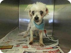 Los Angeles, CA - Toy Poodle. Meet A1208675, a dog for adoption. http://www.adoptapet.com/pet/15444329-los-angeles-california-toy-poodle