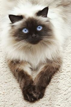 Siamese Cats Sealpoint - The Himalayan cat is a cross between a Persian cat and a Siamese cat. This is why Himalayan cats have distinc Pretty Cats, Beautiful Cats, Animals Beautiful, Cute Animals, Pretty Kitty, Gorgeous Eyes, Wild Animals, Baby Animals, Cute Kittens