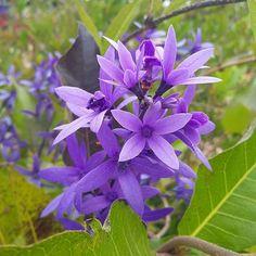 Bom dia! A flor de São Miguel (Petrea subsserrata) é uma trepadeira escandente…