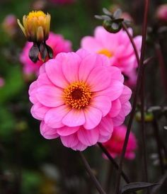With deep bronze to near black foliage set against masses of bright, cheery pink flowers, Dahlia 'Classic Rosamunde' is a particularly attractive Dahlia.