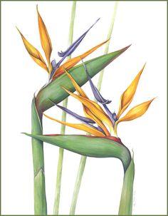 bird of paradise botanical illustration - Google Search