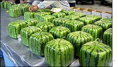 Japanese farmer grows square watermelons that fit more easily in the fridge.