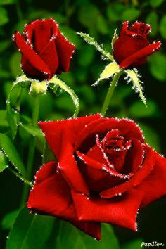 Roses rouges gif