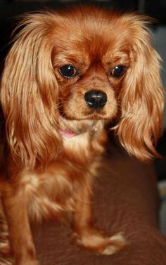 Our Adults | Michigan Cavalier Breeder | MI Cavalier Spaniel Breeder...I will always love the Rubies!