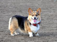 "A smiling Corgi!  Nothing says ""happy"" like a Corgi smile!"