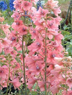 ROSA RITTERSPORN!!!!! WTF??? Staudenfoto zu Delphinium ruysii 'Pink Sensation' (Rittersporn)
