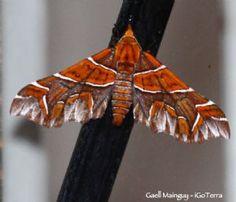 The Magician (Monarcha magicaria) ??SIZE?? South America