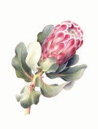 Botanical Art School of Melbourne Botanical Drawings, Botanical Illustration, Botanical Prints, Illustration Art, Protea Art, Protea Flower, Watercolor Pattern, Watercolor Flowers, Watercolour Art
