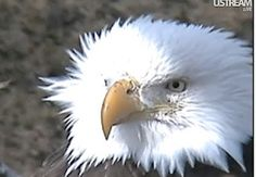 Dad Eagle sitting out on the pearching limb, posing for his portrait. Monday, Feb 27, 2012, about 9:30 in the morning.