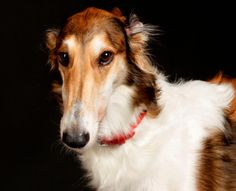 The Borzoi, aka the Russian Wolfhound, is similar in shape to a greyhound. They are quiet, athletic and independent dogs. Most Borzois are almost silent, barking only very rarely. They do not have strong territorial drives. They are extremely intelligent, gentle and highly sensitive dogs with a natural respect for humans. Photo credit: allthebreeds.com