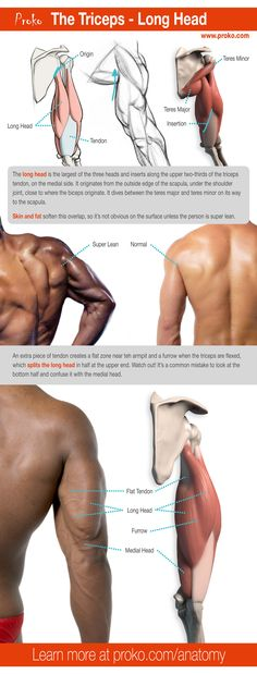 Here's a detailed look at the long head of the triceps. Learn more on how to draw the triceps at proko.com/anatomy