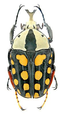 Mecynorhina passerinii, also known as the Orange-Spotted Fruit Chafe, is a in the family, subfamily They are found in South Africa, and Females can be as large as inches. Beetle Insect, Beetle Bug, Insect Art, Cool Insects, Bugs And Insects, Mantis Religiosa, Cool Bugs, A Bug's Life, Beautiful Bugs