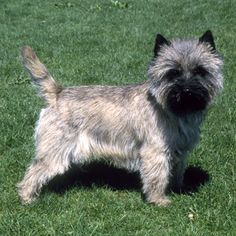 Cairn Terrier - Small Dog Breed | Dog Fancy