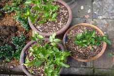 V zahradě jsem začala pěstovat borůvky, no manžel nevěřil, že vyrostou. Já jsem si však našla tento ověřený trik, díky čemuž jich mám v zahradě kopec! - Chránit své zdraví Pesto, Plants, Plant, Planets