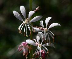 White Gaura-Desert Botanical Garden Wildflower Trail