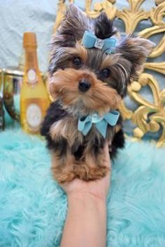 Some of the Tiniest, Most Beautiful Teacup Yorkie Puppies in the World! Teacup Yorkie and Small Toy Yorkies for Sale. Micro Teacup Yorkie, Teacup Puppies, Cute Puppies, Cute Dogs, Teacup Chihuahua, Chihuahua Puppies, Yorkies, Yorshire Terrier, Top Dog Breeds