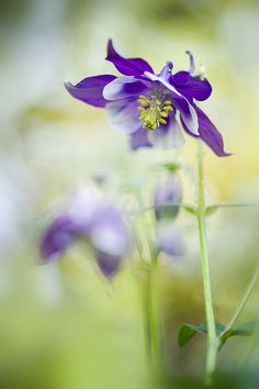 Little spring Aquilegia by Jacky Parker Floral Art, via Flickr