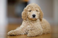 Cockapoo: Everything We Love About The Cocker Spaniel Poodle Mix – All Things Dogs Cockapoo Puppies For Sale, Big Puppies, Cockapoo Dog, Cocker Spaniel Poodle Mix, Poodle Mix Breeds, English Cocker, Purebred Dogs, Medium Sized Dogs, Mixed Breed